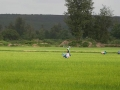 Paddy fields near Kedige